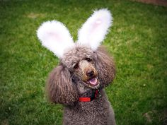 Poodle Cotton Tail    Happy Easter