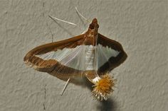 """https://flic.kr/p/bMtSut   Female Flower-tail or Cucumber Moth (Diaphania indica, Crambidae)   These moths exhibit a tuft of light brown """"hairs"""" on the tip of the abdomen, vestigial in the male but well-developed in the female. It is formed by long scales which are carried in a pocket on each side of the abdomen from where they can be everted to form the tufts. Unfertilized females are often seen sitting around with the tuft fully spread, forming two flower-like clumps of scales, which move…"""