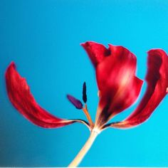 #adadad.fr #adriendewisme #vision #abstraction #photography #inspiration #minimal #vibrant #nature #flowers #tulips #color #blue #red