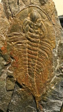 Olenellus (Paedeumias) Cambrian Kinzers Formation Pennsylvania, U.S.A.