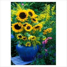 GAP Photos - Garden & Plant Picture Library - Blue glazed urn of with Helianthus annus and Solidago on slatted wooden chair, in cottage garden - Sunflowers and Golden Rod. - GAP Photos - Specialising in horticultural photography