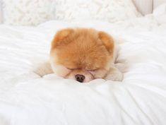 Boo: The world's cutest dog!