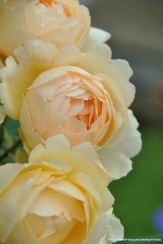 Wollerton Old Hall rose - strong myrrh fragrance                                                                                                                                                     More