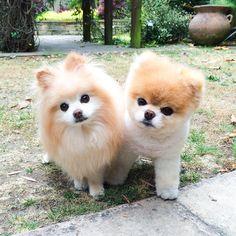 Buddy & Boo the Pomeranian Dogs