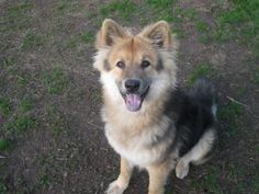 Nala is an adoptable German Shepherd Dog Dog in Sacramento, CA. Nala is a beautiful 11 month old shepherd/chow mix. She is friendly, playful and very smart. She learns quickly. Nala will sit with a ha...