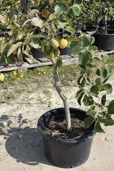 Growing Fruit Trees in Containers: Caring for Potted Trees | #starkbros