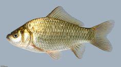 f. Cyprinidae Carassius sp.