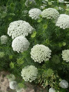 "Queen Anne's Lace 'Casablanca'. Ammi visnaga. 36-42"" tall. Looks similar to Daucus carota, but does not reseed."