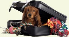 Tampa Dog Trainer: Dog Travel Safety By Brenna Fender Dog owners often travel with their pets to competitions, on vacation, or just about town while on errands, but they may not realize that the wa… Dachshund Dog, Pet Dogs, Dachshunds, Doggies, Pet Relocation, Free Dog Food, Amor Animal, Dog Bag, Dog Safety