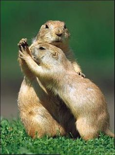 Prairie Dogs Dance