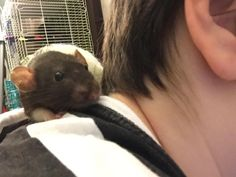 Silvie's already warmed up to me pretty well. #aww #cute #rat #cuterats #ratsofpinterest #cuddle #fluffy #animals #pets #bestfriend #ittssofluffy #boopthesnoot
