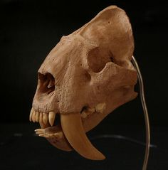 A Smilodon skull looks very different from that of a modern big cat. Sabercats are fundamentally different from feline (modern) cats. Instead of having a strong bite force, they have the capacity to deliver a slashing, shearing force with their saber-like teeth. They were probably adapted to rip the prey's throat out with one slice, or possibly to eviscerate smaller to medium sized prey.