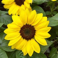 """Sunflower """"Suntastic Yellow"""""""
