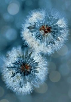 Dandelion clock Wallpaper Flowers Nature Wallpapers) – Free Backgrounds and Wallpapers Foto Macro, Foto Poster, Dandelion Wish, Dandelion Flower, Macro Photography, Photography Ideas, Belle Photo, Pretty Pictures, Shades Of Blue