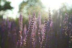 Lavender. Favorite flower and scent