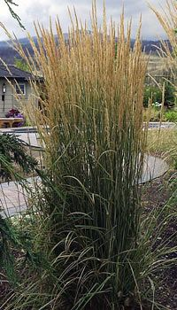 calamagrostis acutiflora 'Overdam' - should over winter well in a container (hardy to zone 3 - and you lose 2 zones for pots)