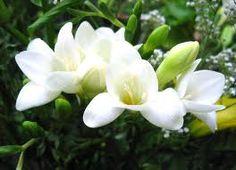 freesia flower - Google Search