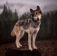 Awwwww loup <3 *** - SAVE THE WOLVES
