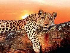 afrika - King in the sunset Wild Animals In Africa, Big Cats, Cats And Kittens, Animal Pick, Panthera Pardus, In And Out Movie, Out Of Africa, Leopards, Animal Kingdom