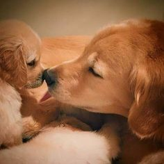 Scientifically raising golden retriever is the most important thing ~ Cute Dogs And Puppies, Baby Puppies, Baby Dogs, Doggies, Cute Funny Animals, Cute Baby Animals, Animals And Pets, Cute Puppy Wallpaper, Puppies Wallpaper