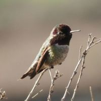 Anna's Hummingbird, Lagoon Trail, Del Mar, California