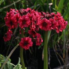 Primula japonica Miller's Crimson (3 plug plants) - Japanese bog primrose, Great marginal or pond edge woodland by RootGarden on Etsy