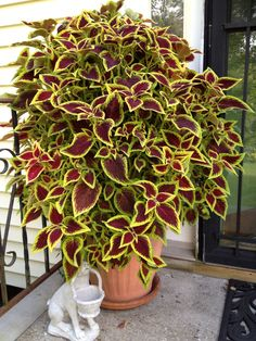 planted some coleus like this at the Milton house and it grew and grew. a winner for me!