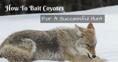 Dog Names Discover Tired calling coyotes for hours with no answer? Theres a better way; learn how to properly bait coyotes. Check it right now! Coyote Hunting Gear, Predator Hunting, Quail Hunting, Deer Hunting Tips, Hunting Humor, Turkey Hunting, Hunting Dogs, Archery Hunting, Pheasant Hunting