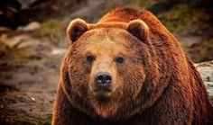 2_animal-grizzly-bear-wallpaper-1920x1200.jpg 1,824×1,080 pixels