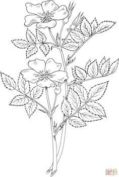 rosa-blanda-or-meadow-wild-rose-or-or-prairie-rose.gif (1828×2708)