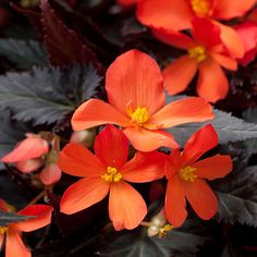 Name: Begonia 'Sparks Will Fly' Growing conditions: Shade, Partial shade Size: 15-18 inches tall and wide Plant it with: Asparagus fern Sour...