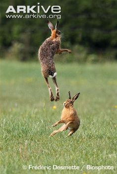 Google Image Result for http://cdn1.arkive.org/media/31/31DB2359-2C65-4A05-BF95-56C0FA2573FF/Presentation.Large/Pair-of-brown-hares-boxing-in-spring.jpg