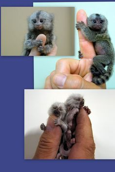 Finger Monkeys-smallest primates on earth    The Official name is:  Pygmy marmoset