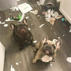 """""""Nope, not us"""", two very suspicious French Bulldogs ❤️"""