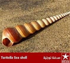 الاصداف البحرية - بحث Google Sea Shells, Desktop, Conchas De Mar, Shells, Seashells