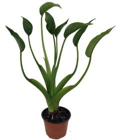Tiny Dancers Elephant Ear Plant - Alocasia - Buddha Palm - 4 Pot Tiny Dancer produces a cluster of bright green leaves that reach a mature height of between Elephant Ear Plant, Elephant Ears, Hanging Plants, Indoor Plants, Porch Plants, Buddha Palm, Chlorophytum, Pots, Bathroom Plants