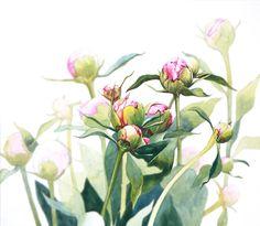Peonies in Bud Botanical Drawings, Botanical Illustration, Botanical Prints, Watercolor Illustration, Watercolor Plants, Floral Watercolor, Watercolor Paintings, Watercolors, Vintage Flowers