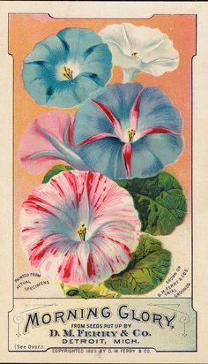 "detroitlib:"" View of an advertising card for D. Ferry & Co. Printed on front: ""Morning glory from seeds put up by D. Ferry & Co. Painted from actual specimens, grown on D. Ferry & Co.'s trial. Vintage Labels, Vintage Ephemera, Vintage Prints, Vintage Posters, Vintage Images, Vintage Art, Vintage Seed Packets, Seed Packaging, Vintage Gardening"