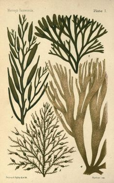 1895 - An introduction to the study of seaweeds, by George Murray - via Biodiversity Heritage Library Botanical Illustration, Botanical Prints, Illustration Art, Sea Plants, Seaweed, Sea Creatures, Under The Sea, Vintage Prints, Find Art