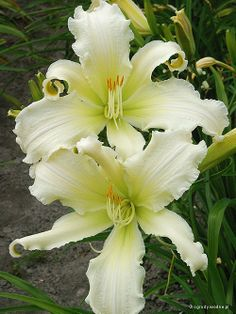 Spider Daylily (Hemerocallis) 'Heavenly Angel Ice'