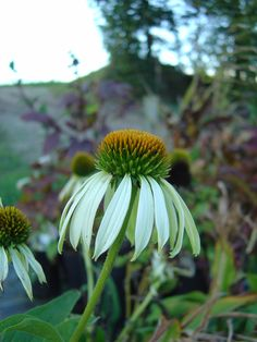 Echinacea 'White Swan'. An outstanding clump forming herbaceous perennial which combines effectively with ornamental grasses and Anemones. Its easy to grow and reliably performs well despite droughts. Likes a good well drained soil in a sunny border. Flowers late summer. Low maintenence. Height 3 - 4ft.