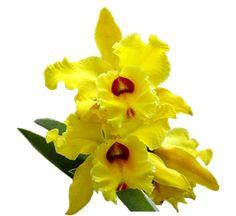 Nos últimos 2 anos vem sendo feitos experimentos com substratos alternativos visando a substituição do xaxim para o replantio de orquídeas epífitas e outras plantas que necessitam do xaxim para sua sobrevivência e fixação. Temos feito experimentos em nossas estufas de crescimento com a fibra do côco, a casca de pínus e o último pouco conhecido entre os orquidófilos que é o cone do pínus