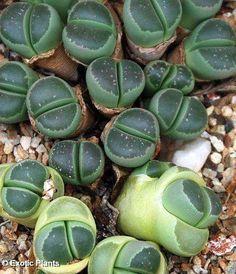 Aloinopsis schooneesii 4cm de bajo crecimiento en miniatura sudafricano mesemb suculenta