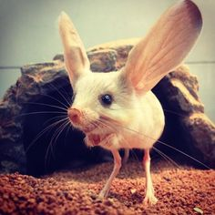 This rodent is a long eared jerboa. It hops around like a kangaroo...