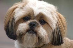 Lhasa Apso - Our Faithful and Loyal Companions... Our Dogs, Our Pets, Our Friend, Our Kids