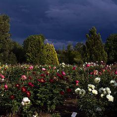 Brooks Gardens peony farm, Oregon