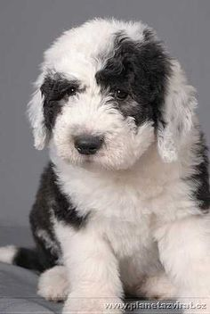 Old English Sheepdog pup. I love Old English Sheepdogs, we had three growing up and they were all adorable, never had them as pups though which was a shame looking at this little cutie! Beautiful Dogs, Animals Beautiful, Sheep Dog Puppy, Sheep Dogs, Cute Puppies, Dogs And Puppies, Pet Dogs, Dog Cat, Baby Dogs