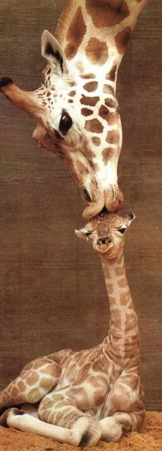 a mothers love - Big Giraffe Kisses