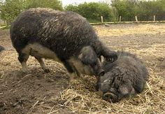 Wooly Pigs: Request for Feedback on Selling Mangalitsa Breeding Stock