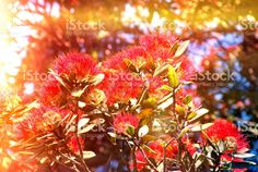 New Zealand Native Metrosideros Excelsa with Solar Flare. New Zealand, Soft Colors, Colours, Flower Photos, Image Now, Nativity, Filter, Royalty Free Stock Photos, Pure Products